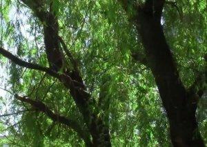 50 yaşlı kişi ağacdan yıxılıb komaya düşdü