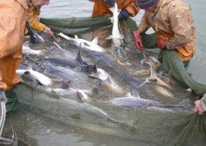 Qadağan olunmuş balıq növlərinin ovlanmaması üçün balıqçılara müraciət edildi