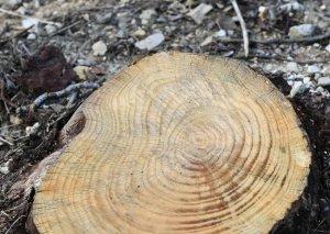 ETSN daha bir qanunsuz ağac kəsimi aşkarladı - Bu dəfə Yevlaxda