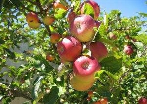 Meyvə üçün ağaca çıxan 82 yaşlı kişi yıxıldı