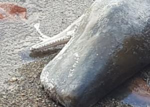 Korsikada dalğa 50 tonluq kaşalot cəsədini sahilə atıb