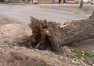 Güclü külək Bakıda 4 sağlam ağacı aşırdı