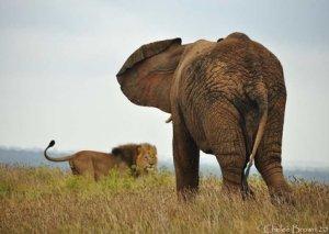 Şir fil balasına hücum etdi və sonu oldu