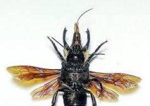38 ildən sonra dünyanın ən iri arısı tapıldı