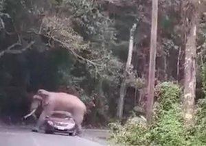 Fil avtomobilin üstünə uzandı