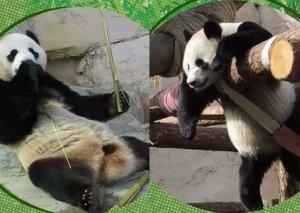 Tənhalıqla mübarizə aparan pandanın maraqlı görüntüləri -