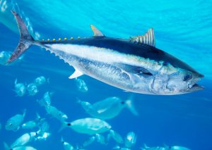 Yaponiyada ən iri tunes balığı hərracda satıldı - 67 min $