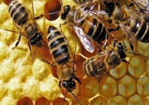 Qızıldan bahalı arı südünün İNANILMAZ FAYDALARI