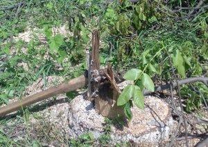 ETSN reyd keçirdi - 12 ədəd qoz ağacının kəsildiyi aşkarlandı