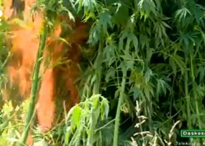 DİN: 22 kq-a yaxın narkotik vasitə aşkarlanıb