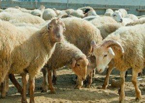 Qazaxda yol qəzası - Çoban xəstəxanaya düşdü, 57 baş qoyun tələf oldu